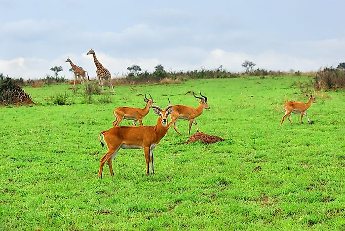 Wildlife in Murchison Falls National Park.