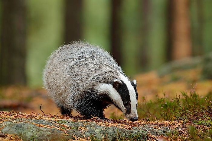 #6 European Badger
