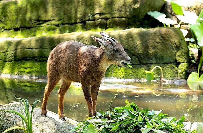#3 Long-Tailed Goral