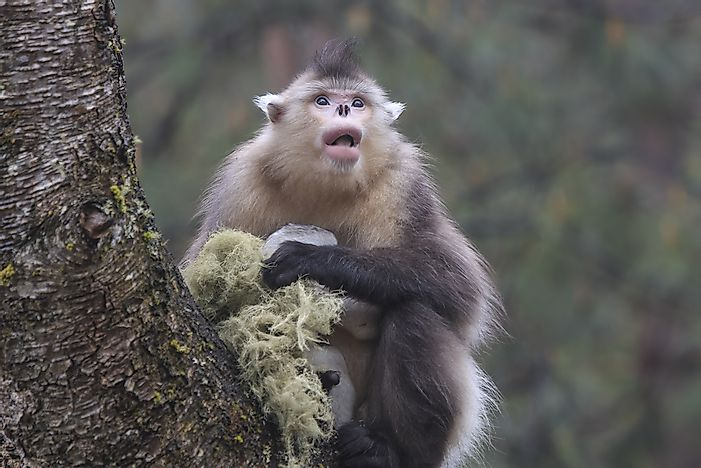 Tonkin Snub-Nosed Monkey - Animals of the World