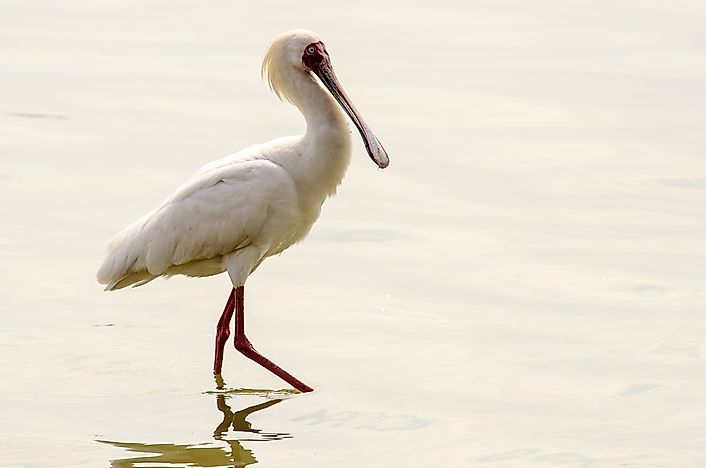 African spoonbill.