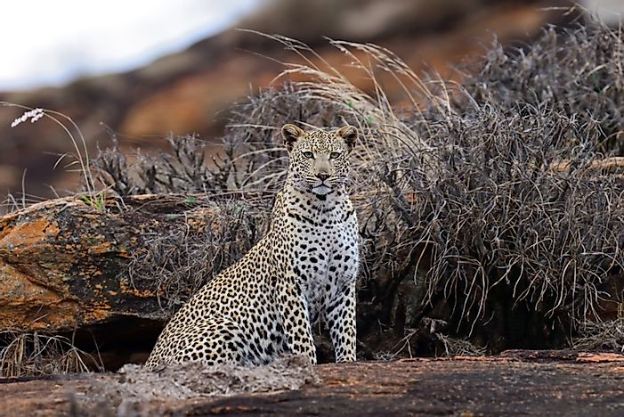 #1 African Leopard
