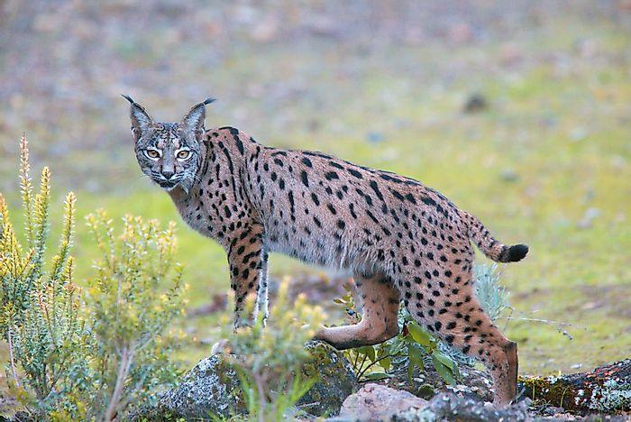 Pin by Febargo on España Iberian lynx, Animals, Dog face