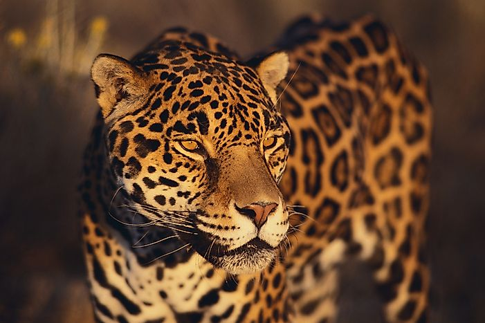 #1 Jaguar - What Animals Live In The Amazon Rainforest?