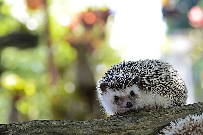 A young hedgehog.