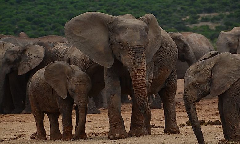 How Many Types Of Elephants Are There? - WorldAtlas com
