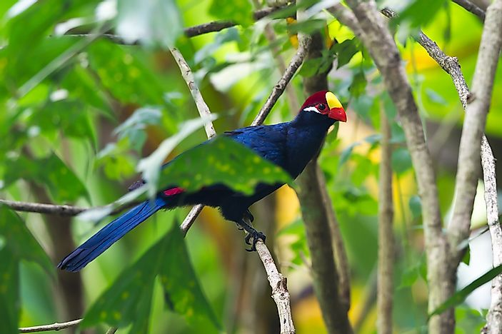 The majestic violet turaco bird.