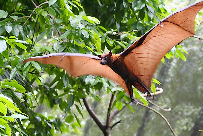 The flying fox is one of the largest bats in the world.