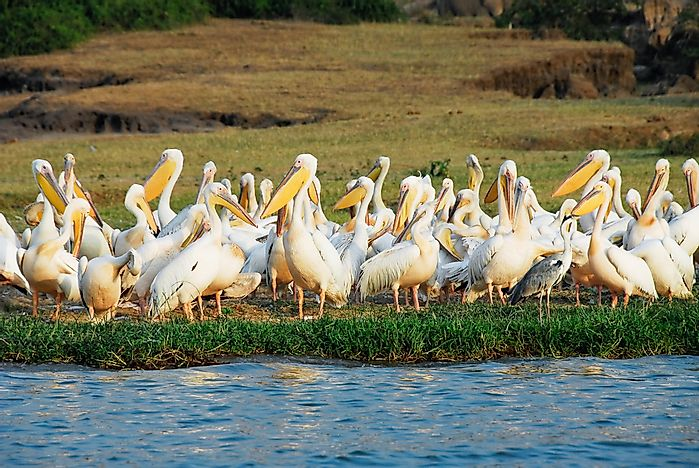 Great white pelicans in Rwenzori National Park.