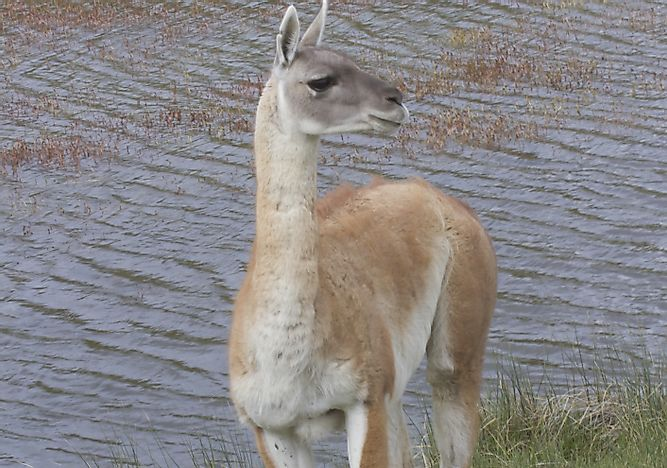 Guanaco Facts: Animals of South America