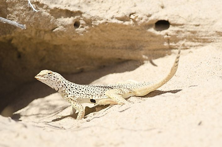 Fringe-Toed Lizard Facts: Animals of North America