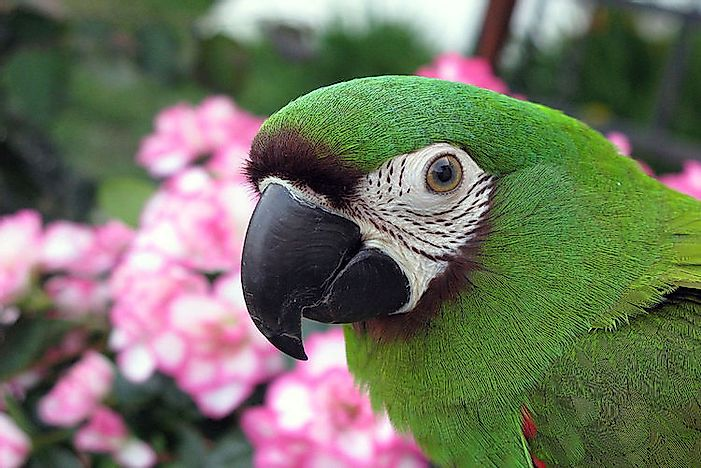 #12 Chestnut-Fronted Macaw
