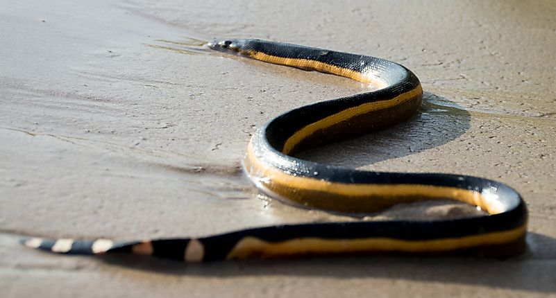 #4 Yellow Bellied Sea Snake