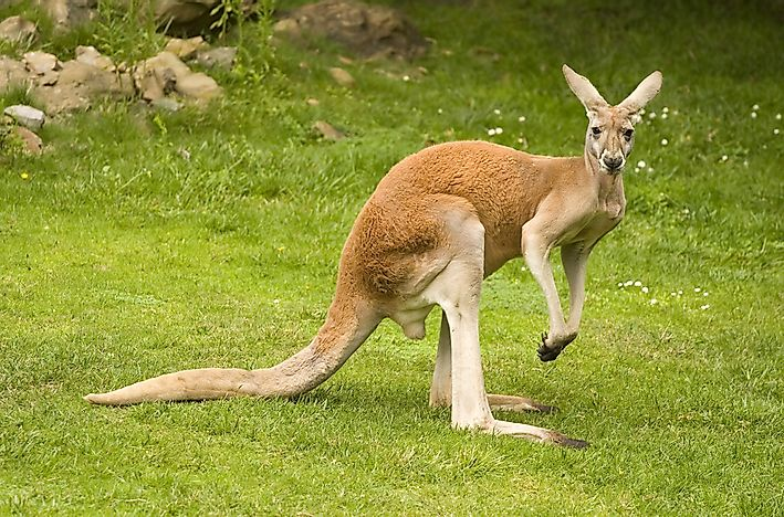how many species of kangaroos are there worldatlas com