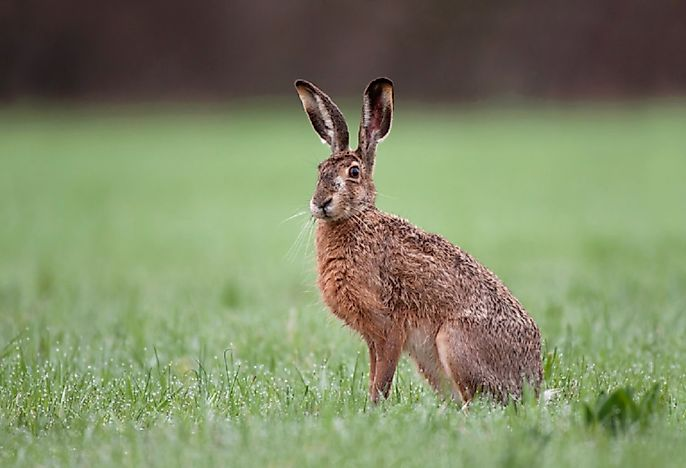 European Hare Facts: Animals of Europe