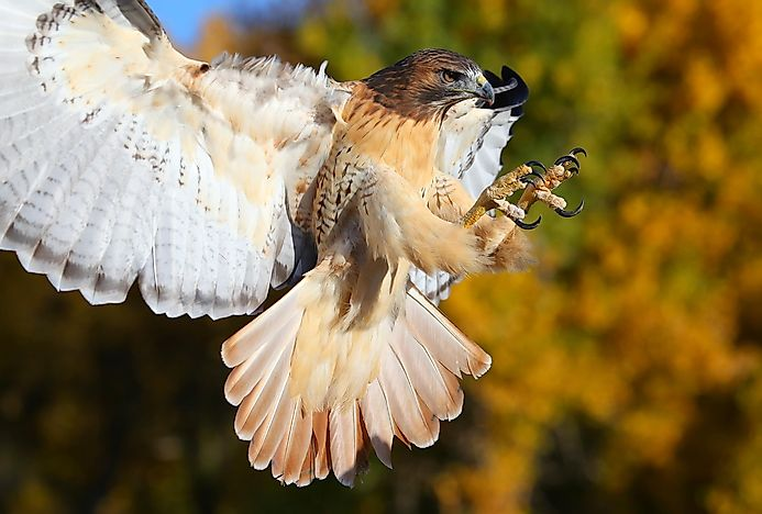 Red-Tailed Hawk Facts: Animals of North America