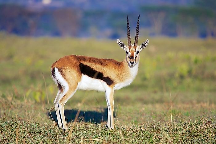Gazelle Facts - Animals of the World