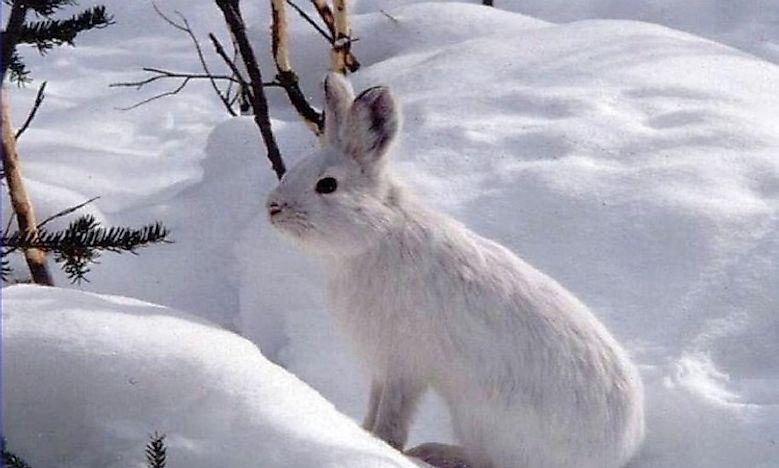 What Animals Live In The Taiga? - WorldAtlas.com