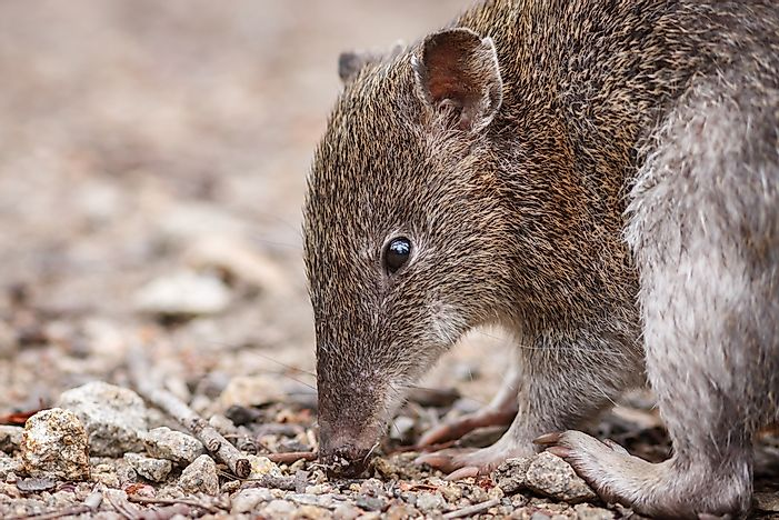 A closeup of a bandicoot.