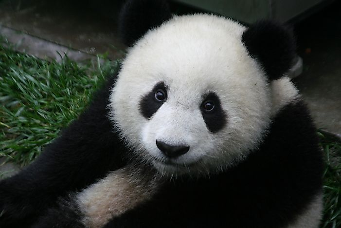 Giant Panda Facts - Animals of Asia