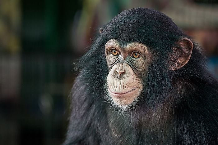 #6 Chimpanzees