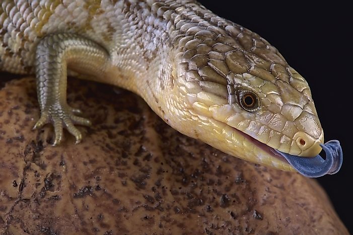 A Tanimbar blue tongue skink.