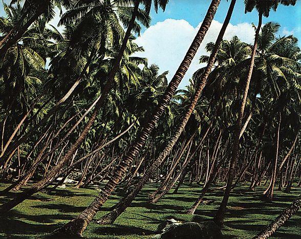 Salt, An Effective and Cheap Fertilizer for Coconut