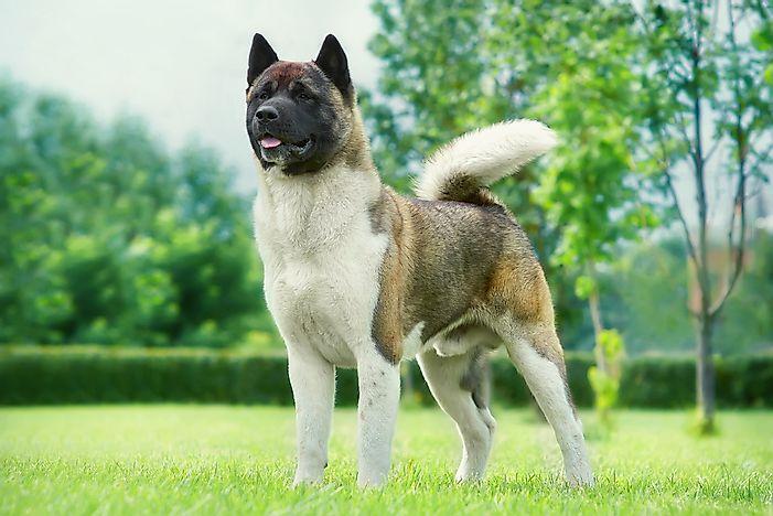 The World S Largest Dog Breeds Worldatlas Com
