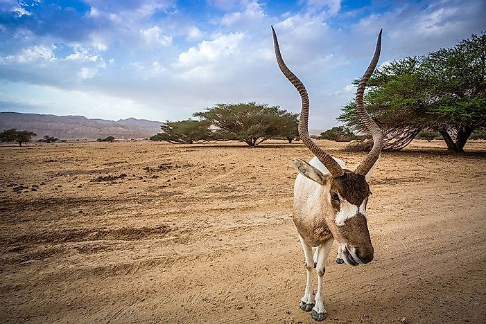 Addax Antelopes - Animals Of The Sahara Desert