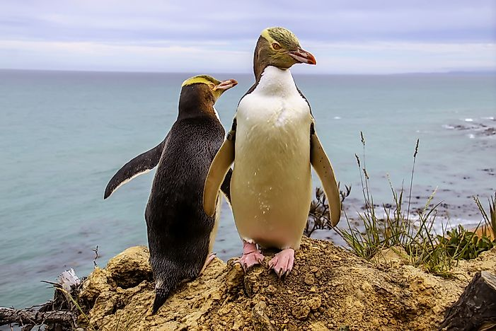 #3 Yellow-eyed Penguin