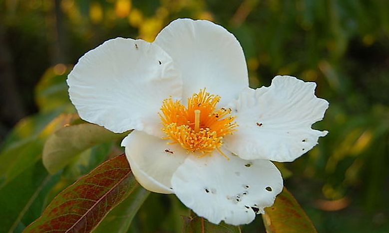 #5 Franklin Tree Flower -