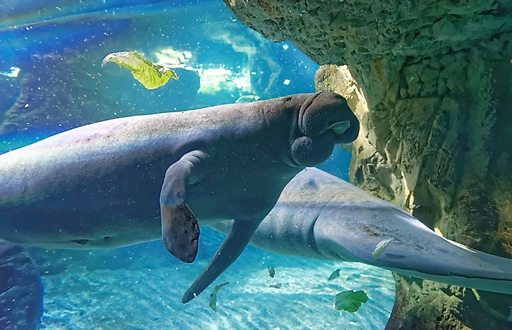 Dugongs swimming near one another. Dugongs are social animals.