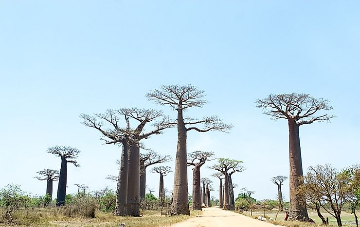 Avenue Of The Baobabs - Unique Places Of Madagascar