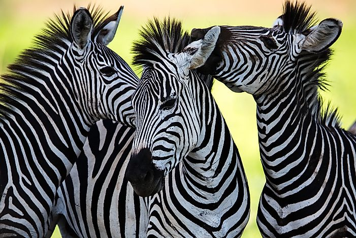 Are Zebras White With Black Stripes Or Vice Versa?