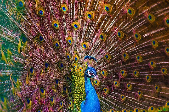 Peafowl Facts - Animals of the World