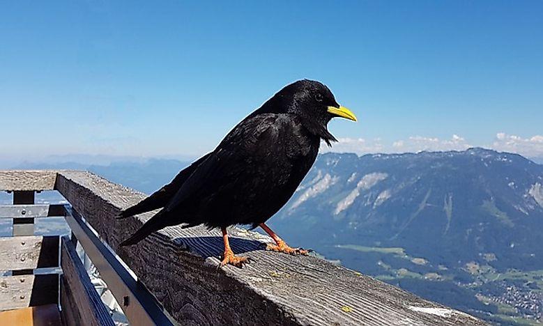 #5 Alpine chough - 26,500 feet