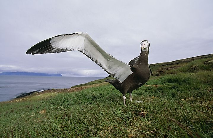 #1 Other Important Wandering Albatross Facts