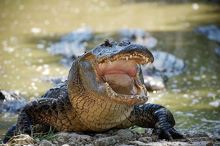 Crocodile 2000