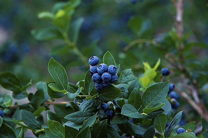 #5 New Jersey - 56.7 Million Pounds of Blueberries Produced