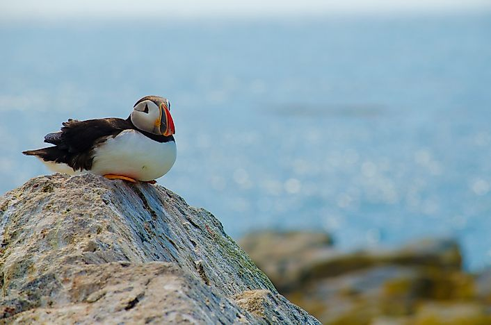 An Atlantic puffin resting on a rock.