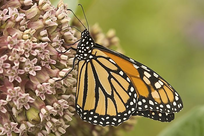 Monarch Butterflies: A North American Treasure In Crisis