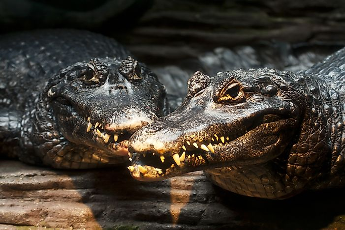 Black caimans showing their teeth.