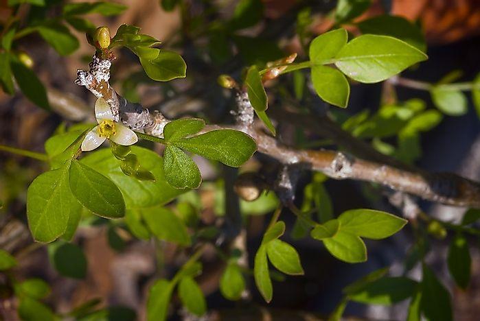 Plant Species Found In Ethiopia - WorldAtlas com
