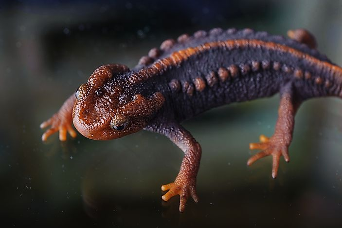 Native Amphibians Of Myanmar (Burma)