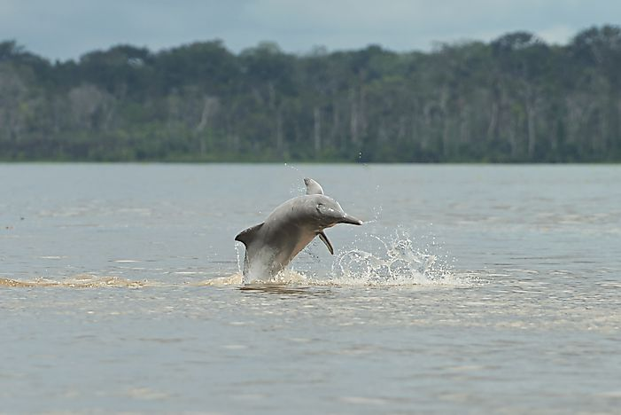 #2 Iniidae (New World River Dolphins)