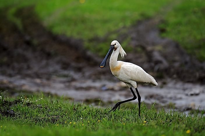 A common spoonbill.