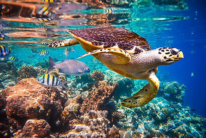 A hawksbill turtle floats in the water of the Indian Ocean coral reef, near the Maldives.