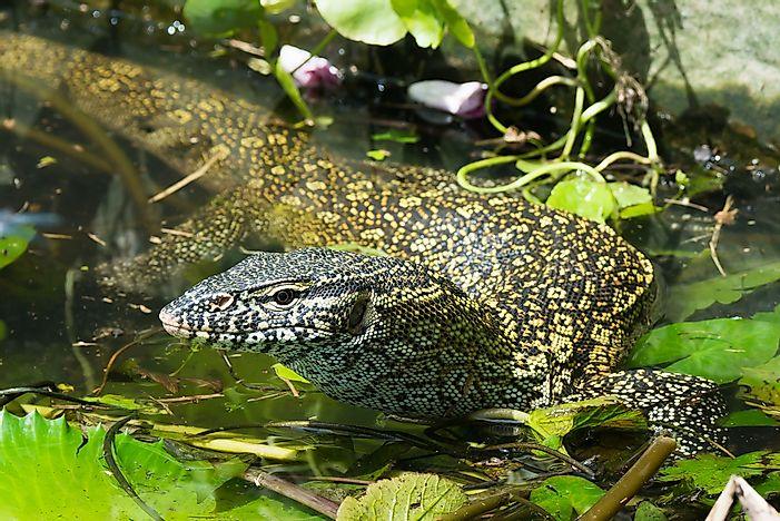 Invasive Species in the Florida Everglades - WorldAtlas com