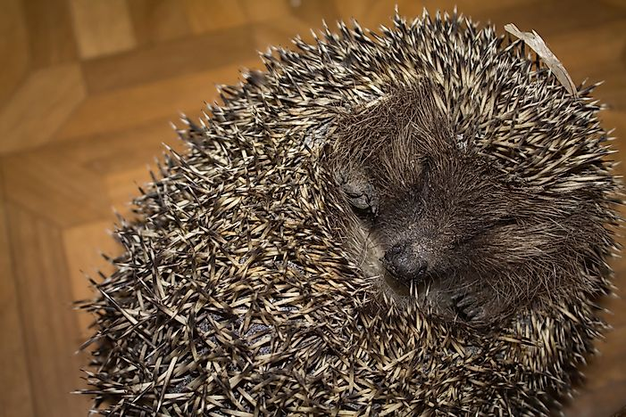 A hedgehog rolled into a ball.