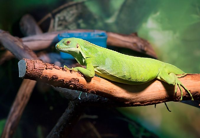 Green Iguana Facts: Animals of North America